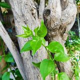 Green leaves` plant with a tree at sunlight behind it Royalty Free Stock Photo