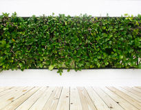 Green leaves plant on wall and wood floor Stock Image