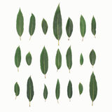 Green leaves plant willow isolated on a white background, top view Stock Photos