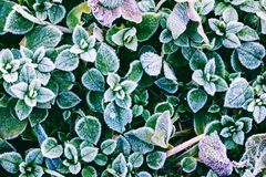 Green leaves of plants covered with frost. The top view Stock Photo