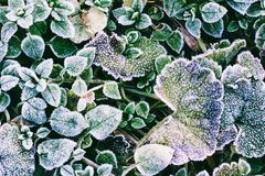 Green leaves of plants covered with frost. Top view Stock Photos