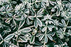 Green leaves of plants covered with frost. Top view Stock Photo