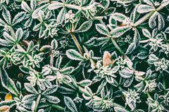 Green leaves of plants covered with frost. Top view Royalty Free Stock Image