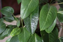 The green leaves of plants covered with water drops stock photo