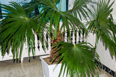 Green leaves plants palm tree Washingtonia Stock Photo