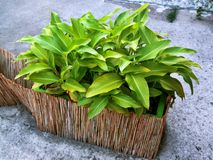 Green leaves of plants potted in a wooden cane. On the street stock image