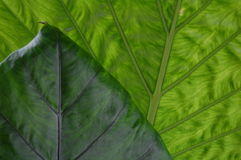 Green leaves with point Royalty Free Stock Photo