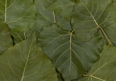 Green leaves of poplar. Royalty Free Stock Photography