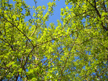 Green leaves of poplar spring Gatchina Royalty Free Stock Images