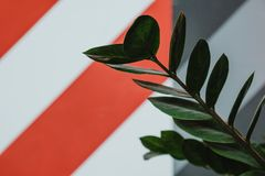 Green leaves of pot plant with red-and-white stripy wall on back. Green leaves of a pot plant with a red-and-white stripy wall on background stock images