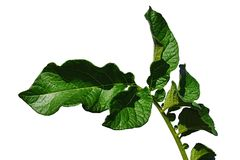 Green leaves of potato Solanum Tuberosum on white background. Shot in afternoon sun Stock Image