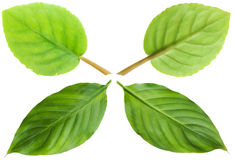Green leaves pro and contra Royalty Free Stock Images