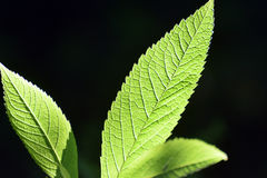 Green leaves with  prominent veins against black backdrop Royalty Free Stock Photos