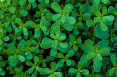 Green leaves of purslane Stock Photography
