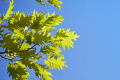 Green leaves of quercus rubra against blue sky stock images