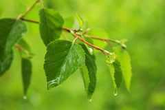 Green leaves on rain. The verdant leaves on rain Royalty Free Stock Photos