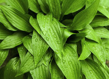 Green leaves after rain Stock Photography