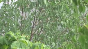 Green leaves in the rain. A tree in the rain. Summer shower stock footage