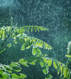 Green leaves with rain Stock Image