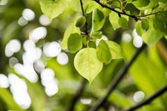 Green leaves after the rain Royalty Free Stock Image