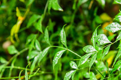 The green leaves after the rain Stock Images