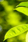 The green leaves after the rain Royalty Free Stock Image