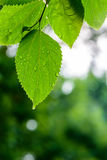 The green leaves after the rain Royalty Free Stock Photography