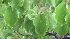 Green leaves in the rain. stock footage