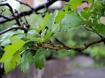 Green leaves after rain. A green tree after rain ,wet ,dark Stock Photography