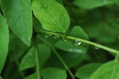 Green Leaves and Raindrops Royalty Free Stock Image