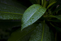 Green leaves with raindrops Stock Image