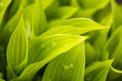 Green leaves with raindrops. Morning dew on the grass royalty free stock image