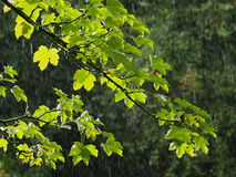 Green Leaves And Raindrops stock photos