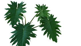 Green leaves of rare aroid philodendron Philodendron lacerum t stock photography