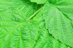 Green leaves of raspberry Stock Photo