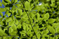 Green leaves. The rays of the sun piercing through the leaves Royalty Free Stock Photos