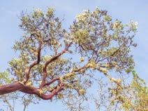 Manzanita tree Stock Photos