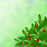 Green leaves and red berries Royalty Free Stock Image