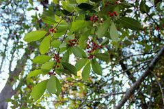 Green leaves with red berries Stock Images