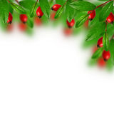 Green leaves and red berries Stock Photography