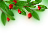 Green leaves and red berries Royalty Free Stock Photos