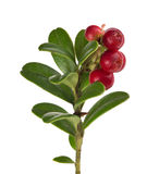 Green leaves and red cowberries on branch Stock Image