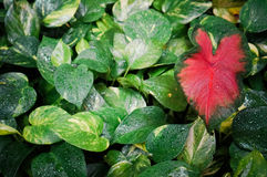Green leaves with red heart shaped leaf. Red and green leaves Royalty Free Stock Photo