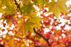 Green leaves among red. Green maple leaves are changing their colour with red leaves background Stock Images