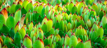 Green leaves with red peaks Stock Photo