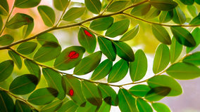 Green leaves with red spot Stock Image