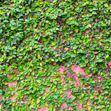 Green leaves on the red wall Royalty Free Stock Images