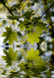Green leaves reflected in rend. Ered water Royalty Free Stock Photography