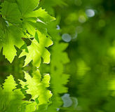 Green leaves reflecting in the water Stock Images