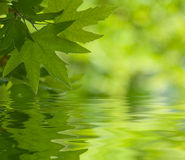 Green leaves reflecting in the water royalty free stock photo